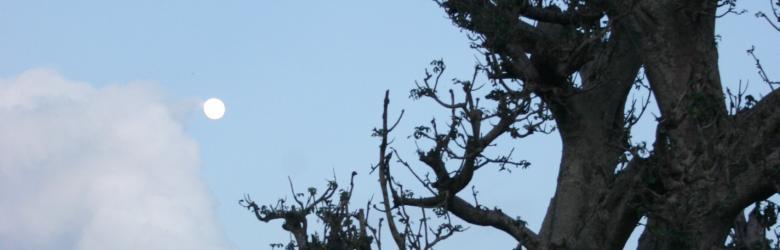 dove:baobab